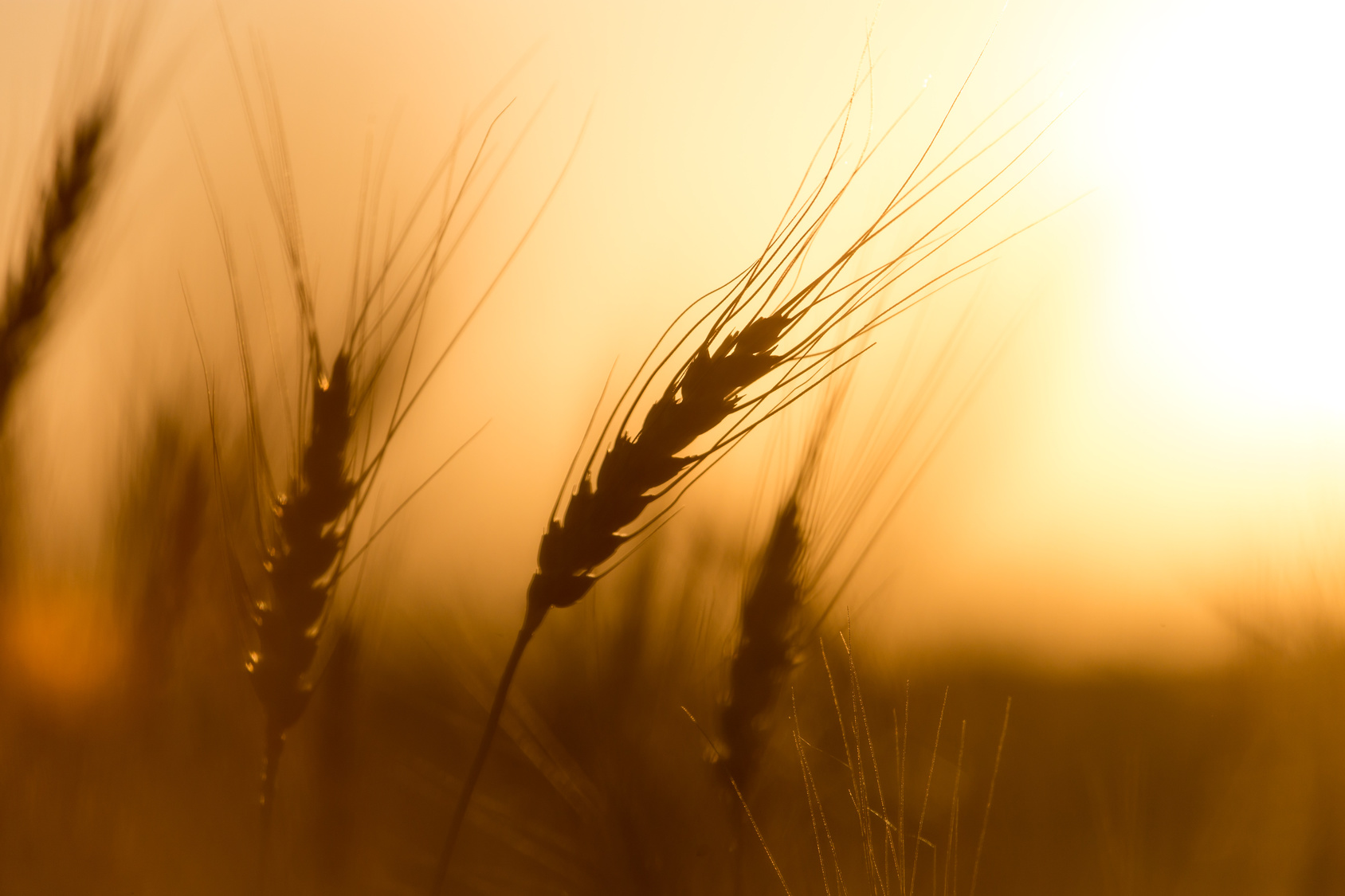 jurnate di simenza grano