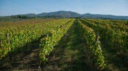 Il Frascati alla riscossa: la rinascita del grande vino dei papi