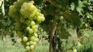 Espressioni di Verdicchio: viaggio alla scoperta del vitigno marchigiano – Marotti Campi