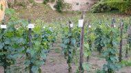 Vendemmiata Romana 2021: al via la festa dell'uva e della vigna all'Orto Botanico di Roma