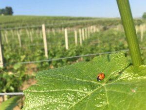 Vini naturali: il terroir in bottiglia. Fermentazioni spontanee, lieviti indigeni e zero additivi