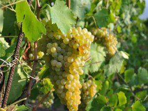 Le Janare: il nuovo progetto di valorizzazione dei vitigni del Sannio