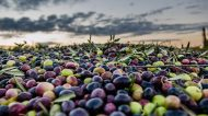 L'Olio che fa Bene. Piccola Guida per Conoscere e Proteggere il Frutto del Nostro Grande Patrimonio Verde