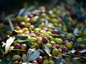 """Olio extravergine di oliva: la Ciociaria conquista le """"Tre Foglie"""" del Gambero Rosso"""