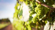 Espressioni di Verdicchio: viaggio alla scoperta del vitigno marchigliano – Belisario
