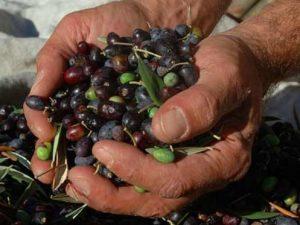 Un nome nuovo per le olive taggiasche