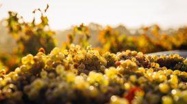 Malvasia Day: torna l'evento dedicato al vino delle Eolie