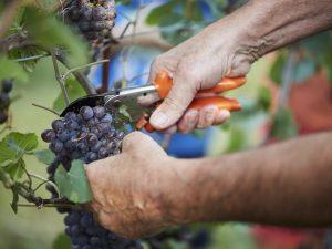 Vendemmia 2018: ottima annata per il vino italiano