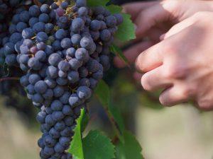 Vendemmiata Romana: tre giorni dedicati al vino all'Orto Botanico di Roma