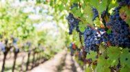 Roma Hortus Vini: all'Orto Botanico in scena il festival dei vitigni autoctoni