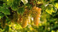 """""""Per San Martino ogni mosto diventa vino"""". Ecco dove andare per Cantine Aperte in Sicilia"""