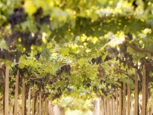 Vite: il progetto di empowerment femminile a sostegno delle produttrici vitivinicole italiane